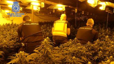 Photo of Desmantelan cuatro plantaciones de marihuana en una nave de Alcantarilla