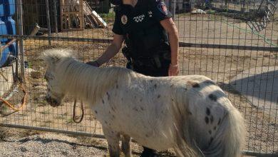 Photo of La Policía Local rescata un poni que deambulaba por la carretera en Javalí Nuevo