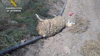 Photo of Matan de hambre a sus ovejas y cabras y denuncian que se las han matado para cobrar indemnizaciones