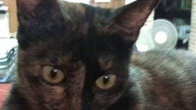 Photo of Piden la colaboración ciudadana para encontrar a Filomena, una gata perdida en San Roque
